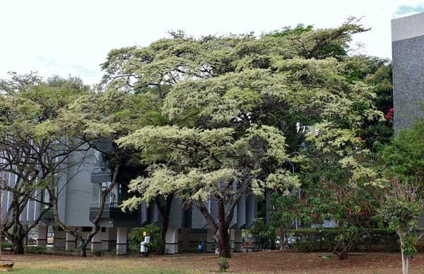 ハカランダの木